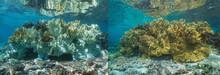 Fire Coral Bleaching In The Pa...