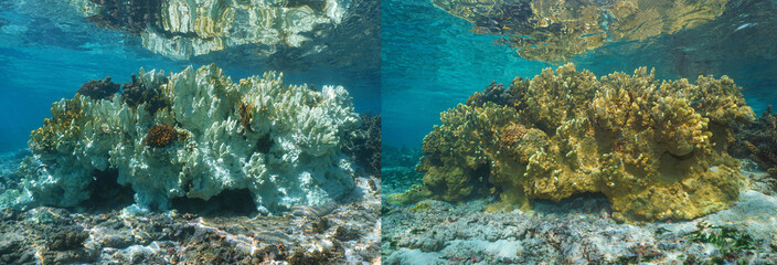 Fire coral bleaching in the Pacific ocean, healthy coral on the right part and bleached coral 6 months later on the left, French Polynesia, Oceania