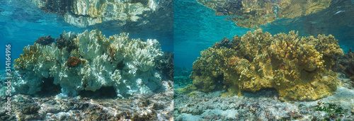 Fire coral bleaching in the Pacific ocean, healthy coral on the right part and bleached coral 6 months later on the left, French Polynesia, Oceania #314164916