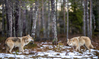 Wolves in the forest. Eurasian wolf, also known as the gray or grey wolf also known as Timber wolf. Scientific name: Canis lupus lupus. Natural habitat. Autumn forest.