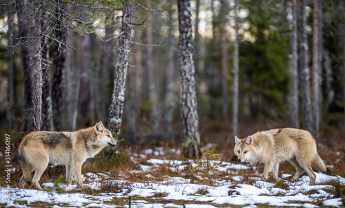 plakat Wolves in the forest. Eurasian wolf, also known as the gray or grey wolf also known as Timber wolf. Scientific name: Canis lupus lupus. Natural habitat. Autumn forest.