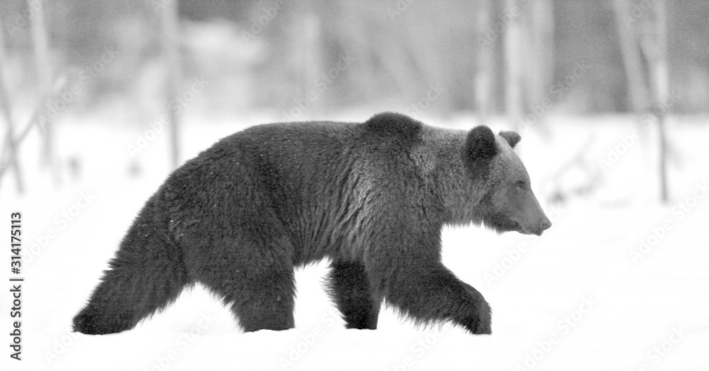 Fototapeta Brown bear walking on the snow in winter forest at night twilight .  Scientific name: Ursus Arctos. Natural Habitat. Black and white photo