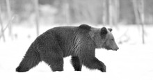 Brown Bear Walking On The Snow...