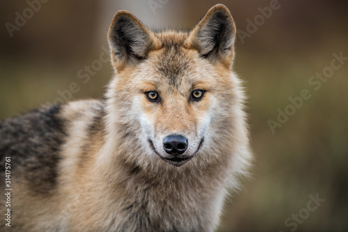 Photo Сlose-up portrait of a wolf