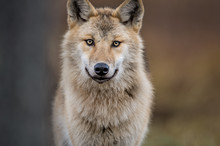 Сlose-up Portrait Of A Wolf. ...