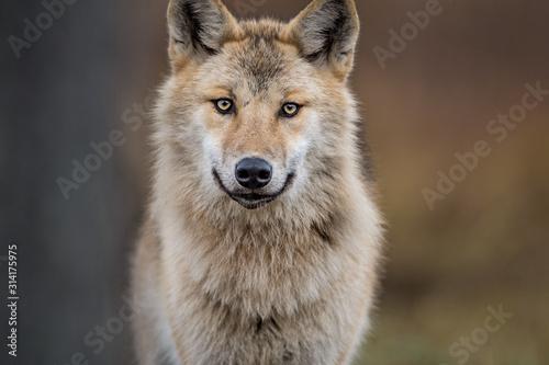 Fotografia Сlose-up portrait of a wolf