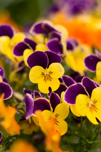 These Are The Pansies That Bloomed In The Garden.