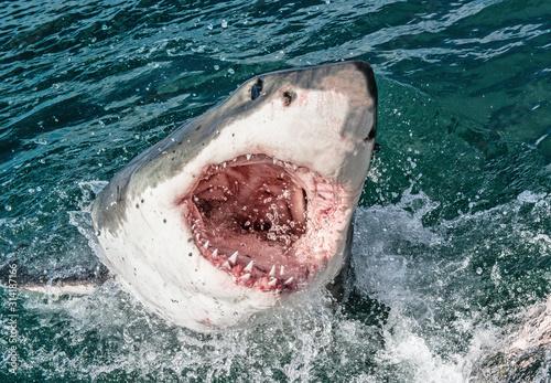 Obraz na plátně Great white shark with open mouth