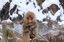 Snow Monkeys From Jigokudani Monkey Park In Nagano, Japan