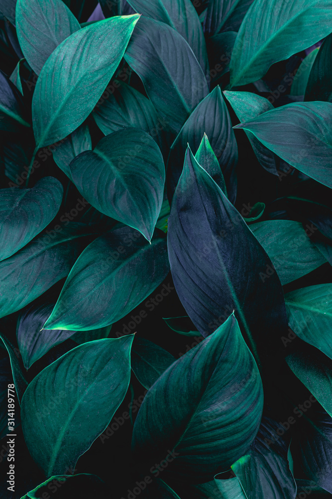 Fototapeta closeup nature view of green leaf in garden, dark wallpaper concept, nature background, tropical leaf