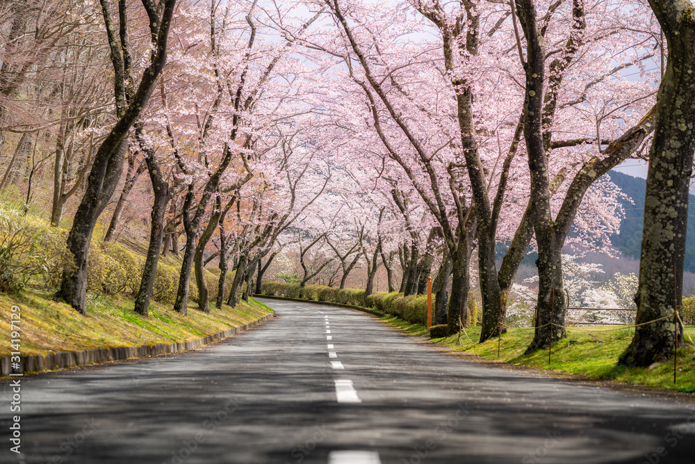 Beautiful view of Cherry blossom tunnel during spring season in April along both sides of the prefectural highway in Shizuoka prefecture, Japan. <span>plik: #314197129 | autor: ake1150</span>