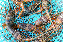 Live Spiny Lobsters In Basket....