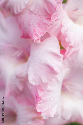 Fototapeta Delicate floral background - pink gladiolus with water drops. Macro shot. Women's Day. obraz na płótnie