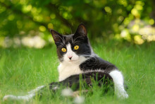 Cat, Tuxedo Pattern Black And White Bicolor, European Shorthair, Lying On Its Back In A Green Grass Garden Meadow
