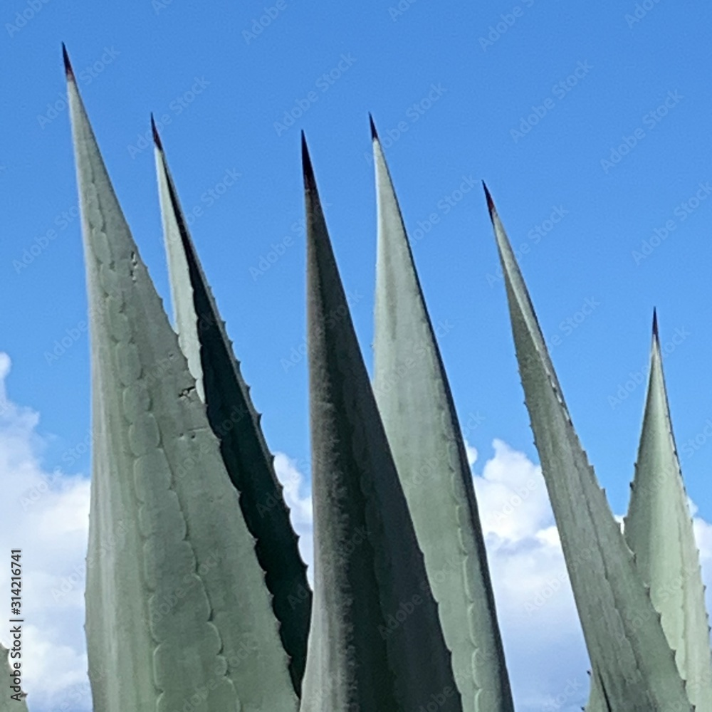 Fototapeta agave