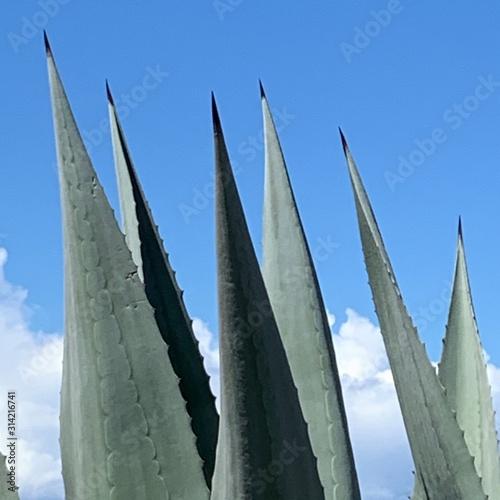 Fototapeta agave obraz