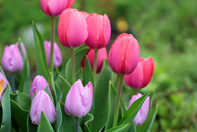 Beautiful Pink Tulips Close Up