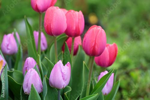 Fototapeta Beautiful Pink Tulips Close Up