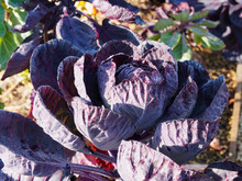 Choux De Bruxelles Rouge Rubine (Brassica Oleracea Var. Gemmifera)
