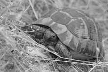 Turtle Crawls In Nature On A S...