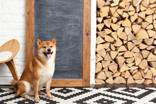 Siba Inu In The Room. Red Dog ...
