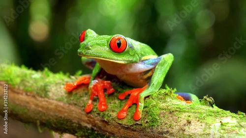 agalychnis callidryas monkey frog Canvas Print