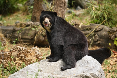 Very rare and shy andean bear in nature habitat Wallpaper Mural