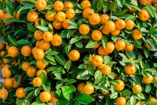 Fototapeta Mandarynki  owocne-sadzenie-pomaranczy-mandarynkowych-ktore-byly-uzywane-jako-roslina-ozdobna-podczas-swieta-wiosny