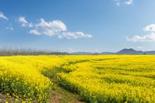 Rapeseed Flower Field In Sunny...