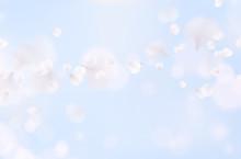 White Rose Petals Fall On Blue Sky Background. Nature Flying Sakura Cherry Flower Pattern For Romantic Wedding Invitation Design..