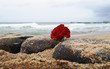 Leinwandbild Motiv burial at see. Funeral flower, lonely red rose flower at the beach.