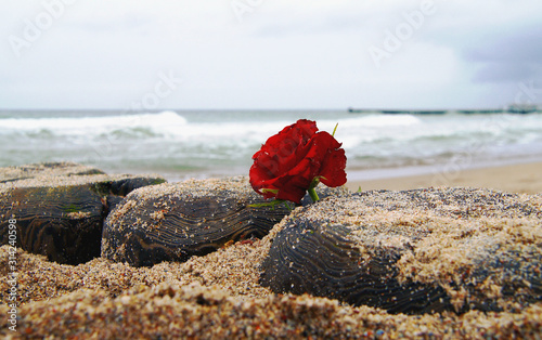 Fototapeta burial at see. Funeral flower, lonely red rose flower at the beach. obraz