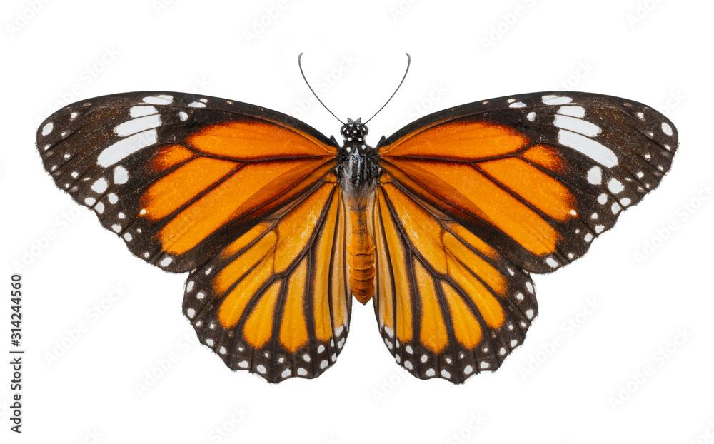 Fototapeta Macro of butterfly isolated on white background, Danaus chrysippus, top view