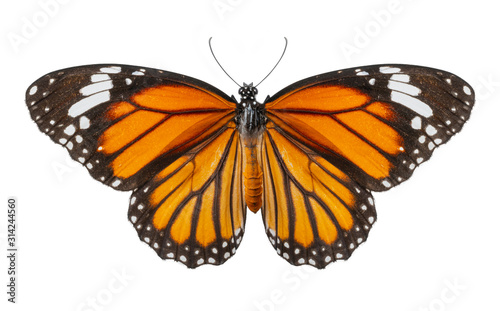 Macro of butterfly isolated on white background, Danaus chrysippus, top view Fototapeta
