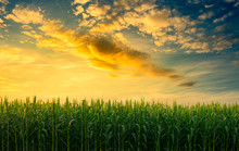 Green Corn Field In The Agricultural Garden With The Sky In Evening Light Shines Sunset