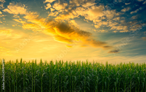 Fotografering green corn field in the agricultural garden with the sky in evening light shines
