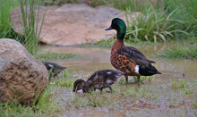 A Mother Duck Looks Over Duckl...