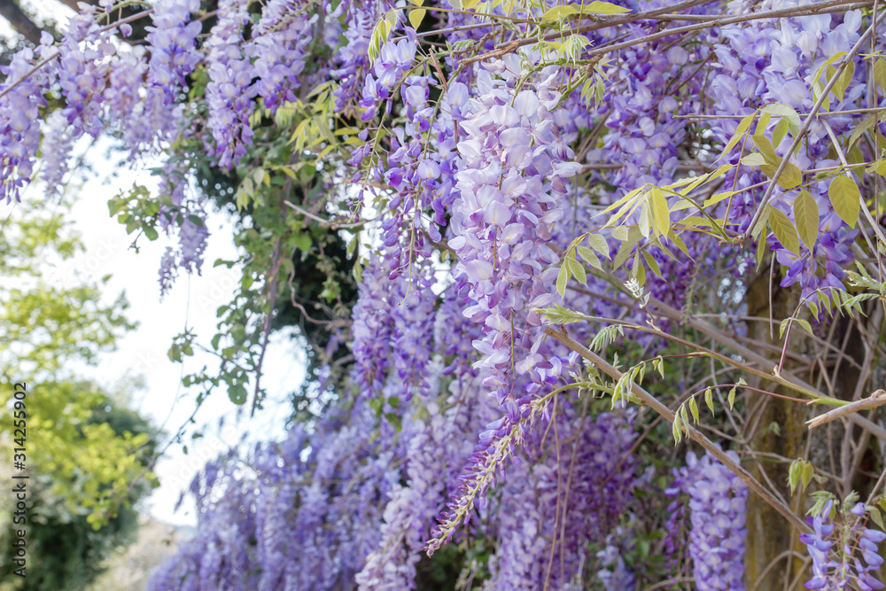 Obraz Wisteria purple flowers and green leaves fototapeta, plakat
