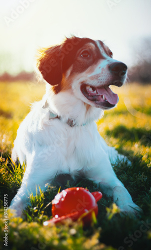 Leinwand Poster  Portrait d'un jeune chien allongé dans l'herbe