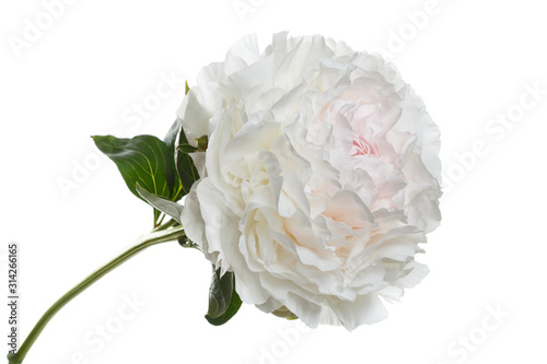 Fototapety, obrazy: Tender pink and white peony flower isolated on white background.