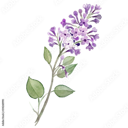 Flieder Lilac Blume violett lila Aquarell