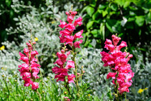 Vivid Pink Magenta Dragon Flowers Or Snapdragons Or Antirrhinum In A Sunny Spring Garden, Beautiful Outdoor Floral Background Photographed With Soft Focus