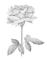Botanical Pencil Sketch Of Roses On White Background