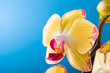 Most commonly grown house plants. Close up of orchid flower yellow bloom over blue background. Phalaenopsis orchid. Botany concept with copy space.