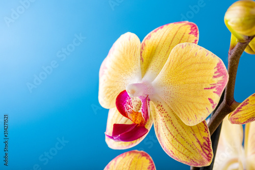 Fototapeta Most commonly grown house plants. Close up of orchid flower yellow bloom over blue background. Phalaenopsis orchid. Botany concept with copy space. obraz