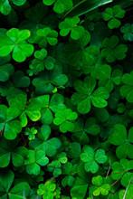 Green Clover Background, Selective Focus