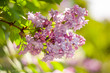 closeup lilac flower. picture with soft focus and space for text. natural sring summer background
