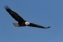 Bald Eagle Flying  In Blue Cle...