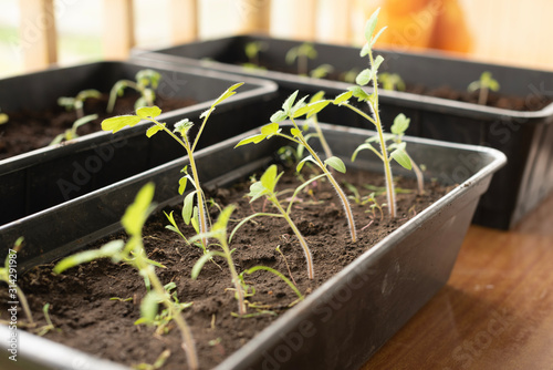 Tomato seedling in greenhouse. Agriculture concept. Selective focus. Copy space
