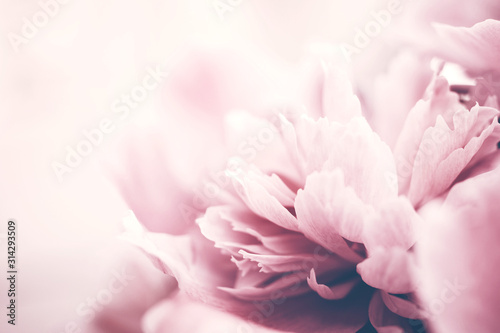 closeup-of-pink-peony-flower-delicate-background-soft-focus